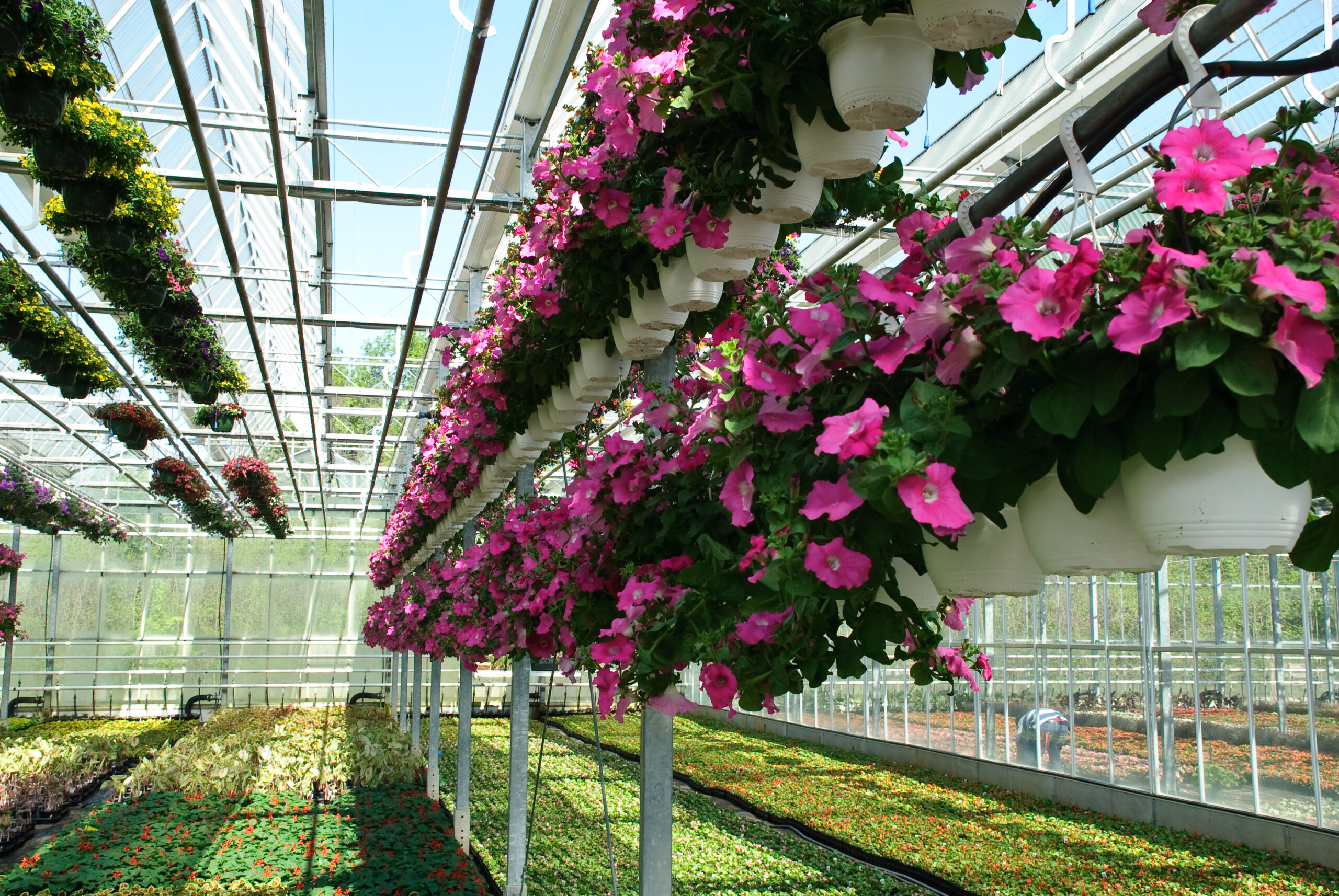 Hanging Baskets Growing in the Greenhouses at Greenstreet Growers
