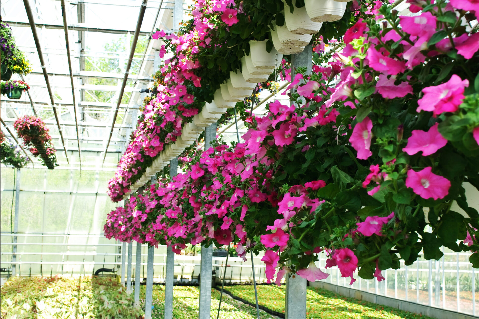 Greenstreet Growers Wholesale Hanging Baskets Annuals Landscape