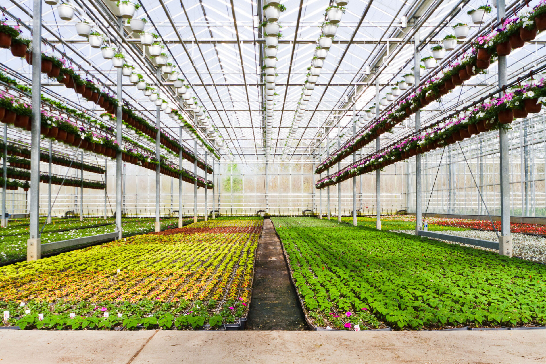 Greenstreet Growers Wholesale Annuals Greenhouse Local Farm