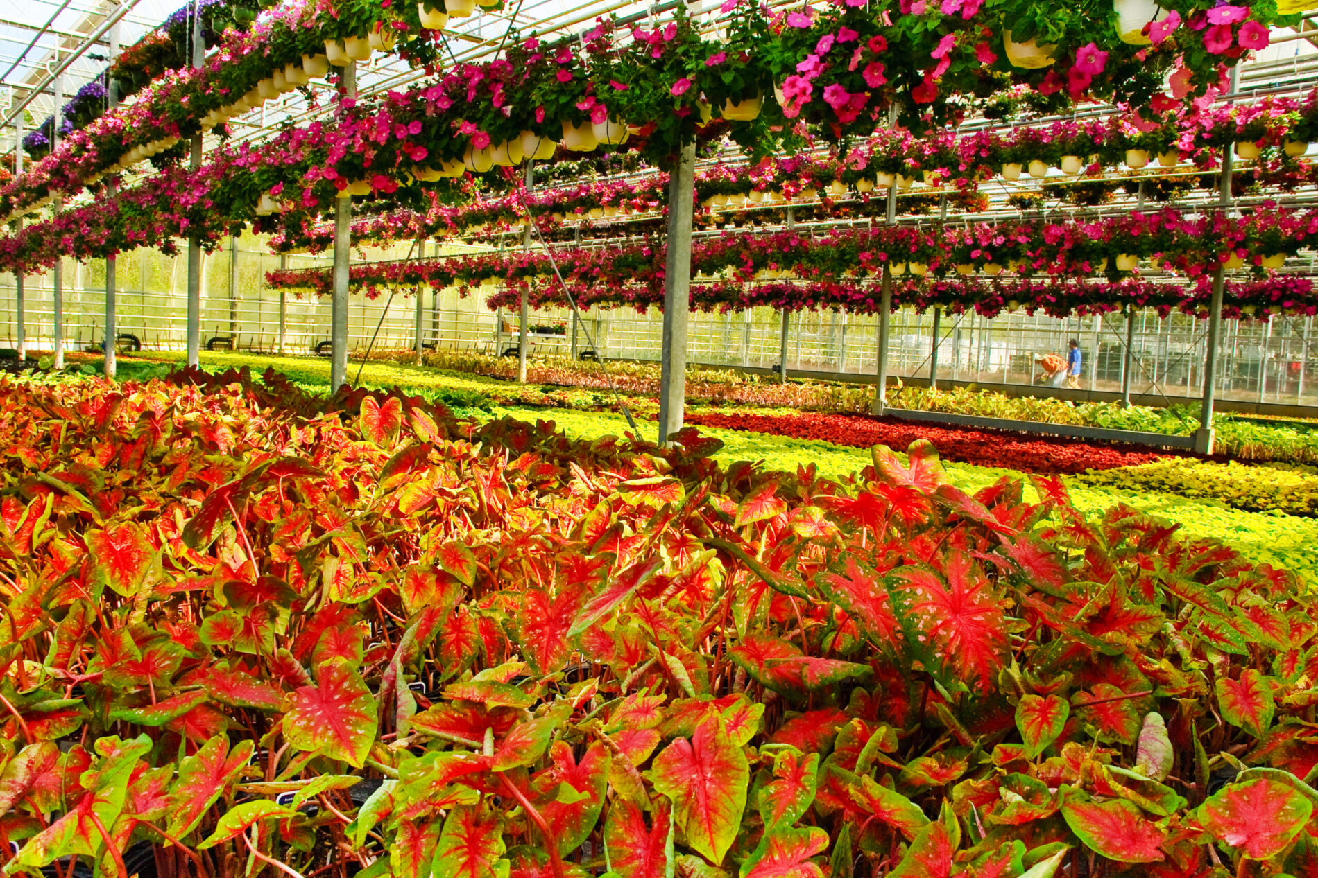 Greenstreet Growers Wholesale Annuals Tropicals Caladiums
