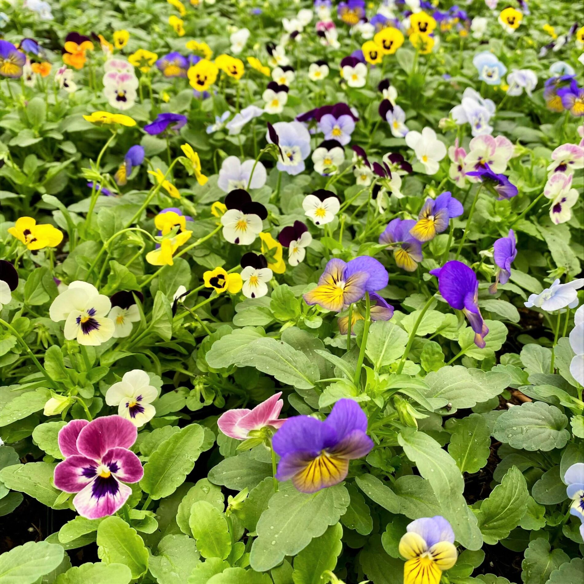 2021_Greenstreet_Growers_Wholesale_Landscape_Fall_Spring_Mix_Viola_09_23
